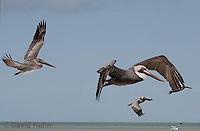 0305-0871  Small Flock of Flying Brown Pelicans, Pelecanus occidentalis © David Kuhn/Dwight Kuhn Photography.
