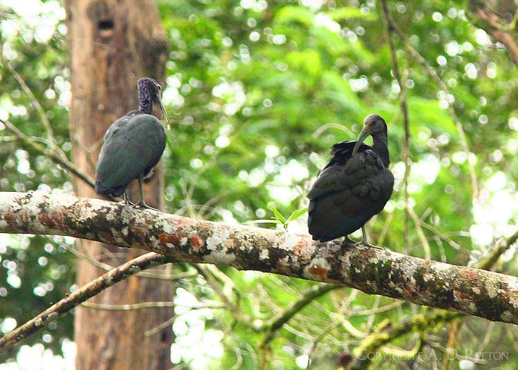 Green ibises preening