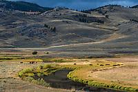 Bison herd grazing along Slough Creek, Yellowstone NP, Wyoming.  September.