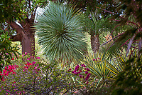 """Yucca rostrata between Arbutus and palm tree with variegated Agave sisaliana 'Tricolor"""" in California garden;"""