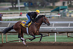 OCT 26 2014:Majestic Harbor, trained by Sean McCarthy, exercises in preparation for the Breeders' Cup Classic at Santa Anita Race Course in Arcadia, California on October 26, 2014. Kazushi Ishida/ESW/CSM