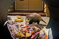 VIRGINIA OPOSSUM raiding home garbage. Nocturnal visitor..British Columbia, Canada..Summer. (Didelphis virginiana)..