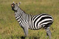 Burchell's Zebra or Plains Zebra (Equus burchelli), Africa.  Lip-curling or smaelling