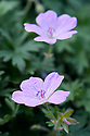 Geranium dalmaticum 'Coombeland Form', mid May. The name is in dispute.