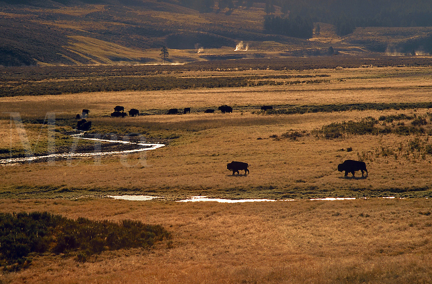 Bison herd at sunrise, Hayden Valley, Yellowstone National Park, Wyoming
