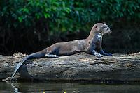 Giant River Otter (Pteronura brasiliensis) Mustelidae, weasel, River Wolf, Lobo de Río, Water Dog