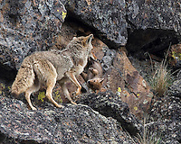 """Coyotes (Canis latrans) move their pups from one den to another fairly frequently. Dens become soiled or unsuitable for a number of reasons. This Yellowstone mom had nine pups and a big job! None of the pups were particularly cooperative and she simply grabbed them as she could. Once caught, they all just """"went limp"""" and went along for the ride. Gibbon Canyon, Yellowstone."""