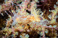 nudibranch, Plocamopherus ceylonicus, has two pink bioluminescent organs located behind its gill, Anilao, Batangas, Philippines, Pacific