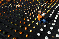 BNPS.co.uk (01202 558833)<br /> Pic: ZacharyCulpin/BNPS<br /> <br /> A geometric, colourful, autumn, harvest at Forde Abbey in Dorset.<br /> <br /> Pictured: Gardener, Johanna Witts with a 'Crown Prince' pumpkin.<br /> <br /> An autumn harvest of squashes and pumpkins was laid out in a perfect uniform grid for visitors at the Forde Abbey Monastery on the Dorset/Somerset border.<br /> <br /> Forde Abbey is a former Cistercian monastery dating back to the early 12th century