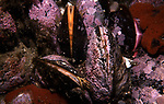 Northern horse mussels on ledge
