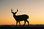 Sunset silhouette of black-tailed or mule deer buck, Olympic National Park, Washington, USA