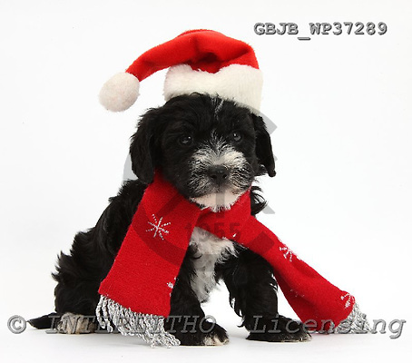 Kim, CHRISTMAS ANIMALS, photos, GBJBWP37289,#XA# stickers