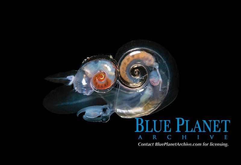 pelagic marine gastropod, or heteropod, Atlanta sp., mating, during blackwater dive, over deep water off Palm Beach, Florida, USA, Atlantic Ocean