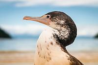 Cormorant on Abel Tasman Coastal Track, Abel Tasman NP, Nelson Region, New Zealand