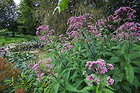 Eutrochium purpureum (aka Eupatorium purpureum), Joe-Pye weed native perennial flowering by bog in Minnesota garden