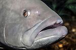 black grouper, close-up of face