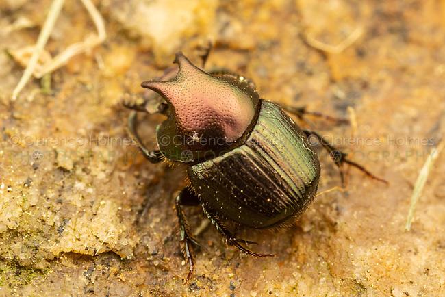 Dung Beetle (Onthophagus orpheus) - Male