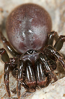 Pechschwarze Tapezierspinne, Tapezierspinne,  Tapezier-Spinne, Atypus piceus, Purseweb spider, Tapezierspinnen, Atypidae, atypical tarantulas, purseweb spiders