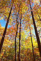 Autumn along the Middle Prong Trail, Tremont