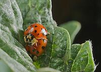 Ladyback Leaf