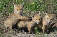 Trio of Red Fox Kits playing outside their den entrance