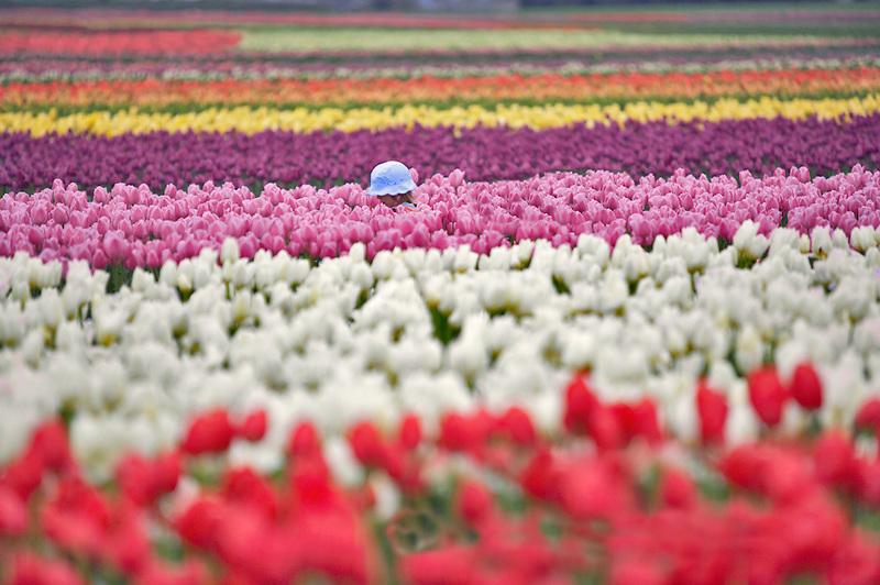Child walking in tulip field. Tulip Town. Mt. Vernon. Washington