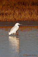 0201-08xx  Snowy Egret Hunting for Prey, Egretta thula © David Kuhn/Dwight Kuhn Photography