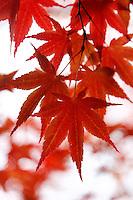 Red Japanese Maple leaves in autumn foliage, Mount Desert Island, Acadia National Park, near Bar Harbor, Maine, USA