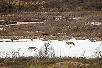Gray wolfs of the Grant Creek wolf pack walk across a snow patch in the Grant Creek drainage in Denali National Park, Alaska.
