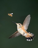 Rufous Hummingbird with bee, both in flight, Arizona