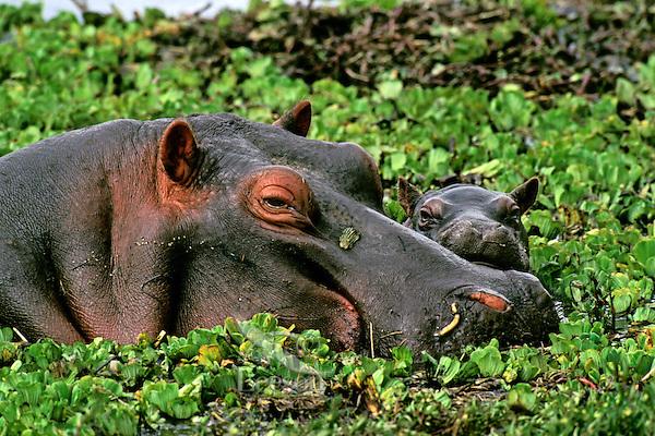 Common Hippopotamus (Hippopotamus amphibius) mother with young calf.  Masai Mara National Reserve, Kenya.