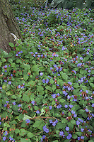 Blue flowers of groundcover plant Ceratostigma plumbaginoides (Perennial Leadwort) in bloom