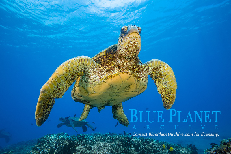 green sea turtle, Chelonia mydas, Maui, Hawaii, USA, Pacific Ocean