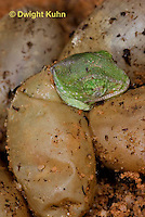 CH43-581z  Veiled Chameleon young hatching from eggs, Chamaeleo calyptratus