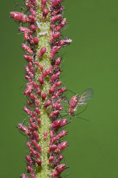 Aphid (Aphidoidea), adults and nimphs, Sinton, Corpus Christi, Coastal Bend, Texas, USA