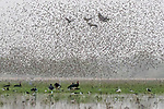 Central Africa , black crowned crane (Balearica pavonina), spur-winged goose (Plectropterus gambensis), Black-winged stilt (Himantopus himantopus himantopus),