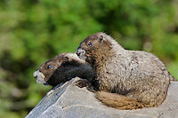 Hoary Marmots (Marmota caligata).  Cascade Mountains, Pacific Northwest.  Summer.