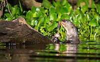 """Known locally as """"Wolves of the River"""" - Giant Otters (Pteronura brasiliensis)  not refined feeders.  This otter caught a large fish and """"wolfed"""" it down while periodically turning around to make sure no bird or otter was sneaking up to steal it. The fish was gone in a couple minutes.  The Pantanal, Brazil."""