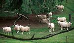 Domestic sheep in Oregon field, sheep, Ovis aries, quadrupedal, ruminant, mammals, livestock, Agriculture, fleece, lamb, mutton, shearing, pelts, milk, rams, ewes, herding dogs, seasonal breeders, lamb, Pacific Northwest, Oregon, Fine Art Photography by Ron Bennett, Fine Art, Fine Art photography, Art Photography, Copyright RonBennettPhotography.com © Fine Art Photography by Ron Bennett, Fine Art, Fine Art photography, Art Photography, Copyright RonBennettPhotography.com ©