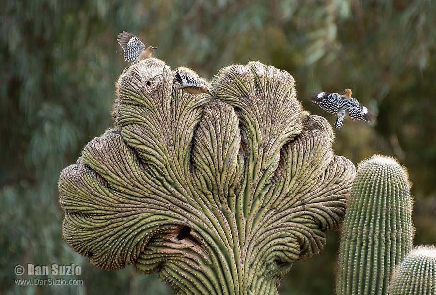 Gila Woodpeckers, Melanerpes uropygialis, on a cristate (crested) Saguaro cactus, Carnegiea gigantea, in the Desert Botanical Garden, Phoenix, Arizona