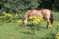 Pony, Pferd auf Weide, Wiese, Koppel, Pferdekoppel mit der giftigen Pflanze Gewöhnliches Jakobs-Greiskraut, Jakobsgreiskraut, Greiskraut, Jacobaea vulgaris, Senecio jacobaea, Jacobea, Staggerwort