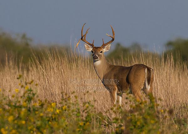 White-tailed Deer (Odocoileus virginianus), buck in velvet backlit, Texas, USA