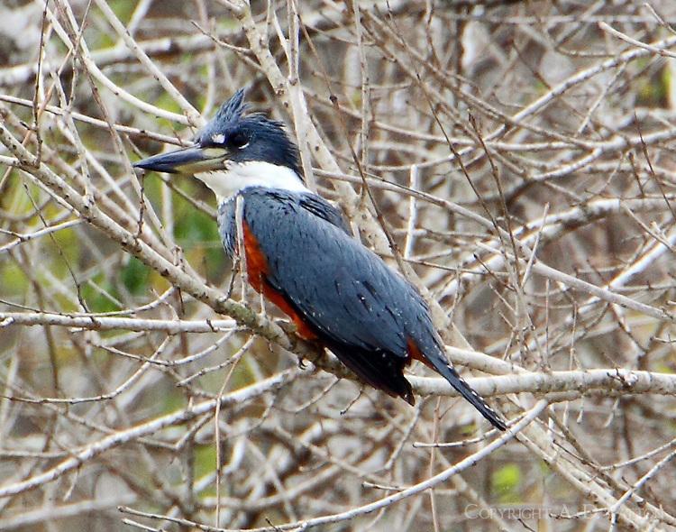 Adult female ringed kingfisher