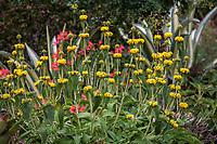 Phlomis fruticosa (Jerusalem Sage) flowering in drought tolerant no summer water garden, Judy Adler Garden, Walnut Creek, California