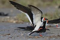 Black Skimmer (Rynchops niger), pair mating, Port Isabel, Laguna Madre, South Padre Island, Texas, USA