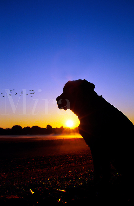 A Black Labrador Retriever dog in silhouette at sunset as it watches a flock of birds in flight.