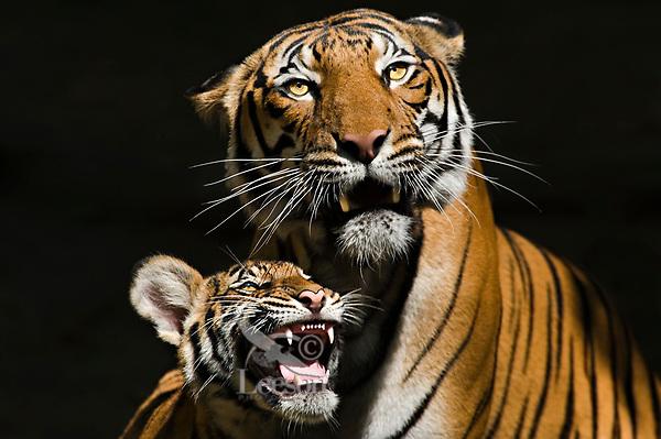 Sumatran Tiger mother and cub