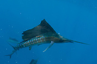 Atlantic sailfish, Istiophorus albicans, with algae-covered spaghetti tag, swims among scales of slaughtered sardines, off Yucatan Peninsula, Mexico (Caribbean Sea)