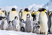 Snow Hill Island, Antarctica. Emperor penguin chick stretching and flapping flippers with other chicks and adults.
