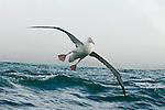 Gibson's Albatross (Diomedea antipodensis gibsoni) landing on water, Kaikoura, South Island, New Zealand